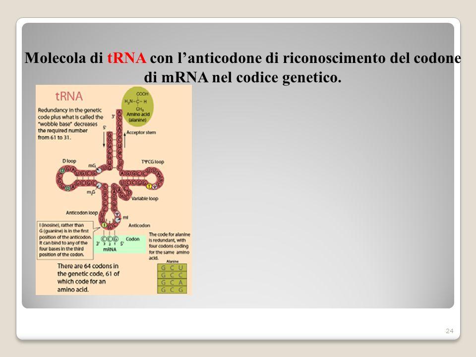 24 Molecola di tRNA con lanticodone di riconoscimento del codone di mRNA nel codice genetico.