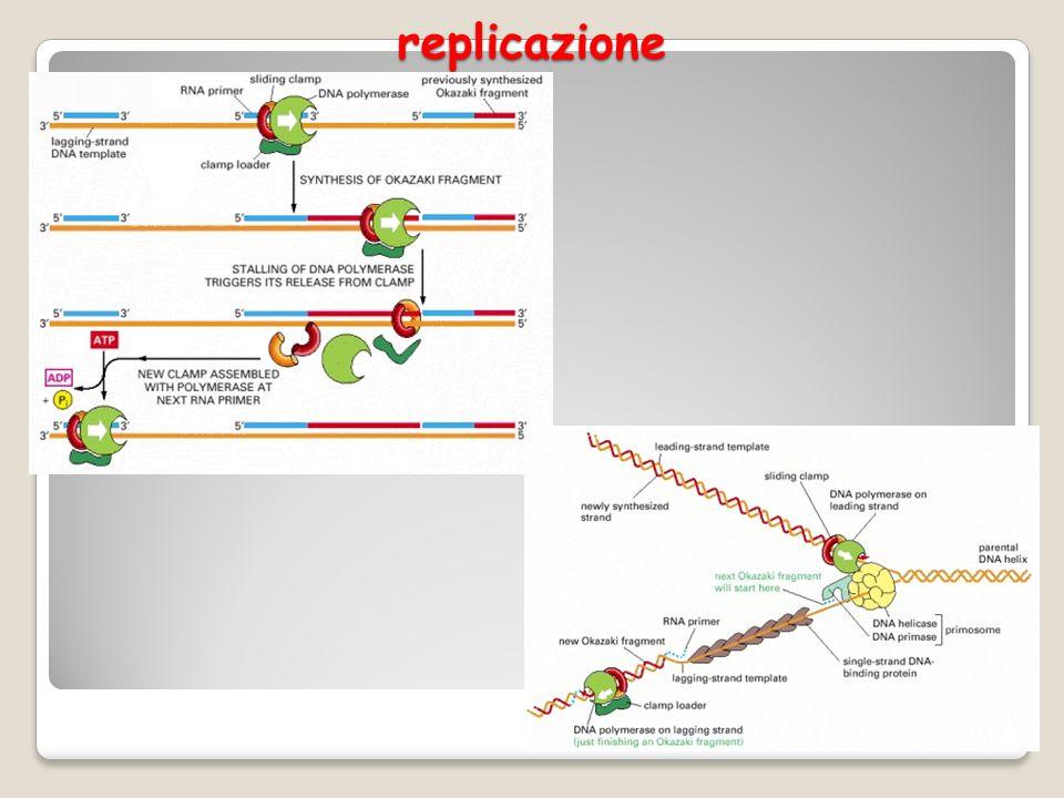 Bolla di replicazione 9 http://apollo11.isto.unibo.it/Tecnicidilaboratorio/lezioni%202010- 2011/11)%20Duplicazione%20DNA.pdf