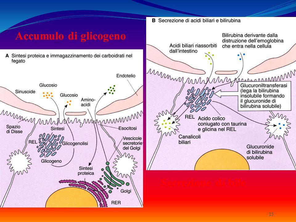 Accumulo di glicogeno 15 Secrezione di bile