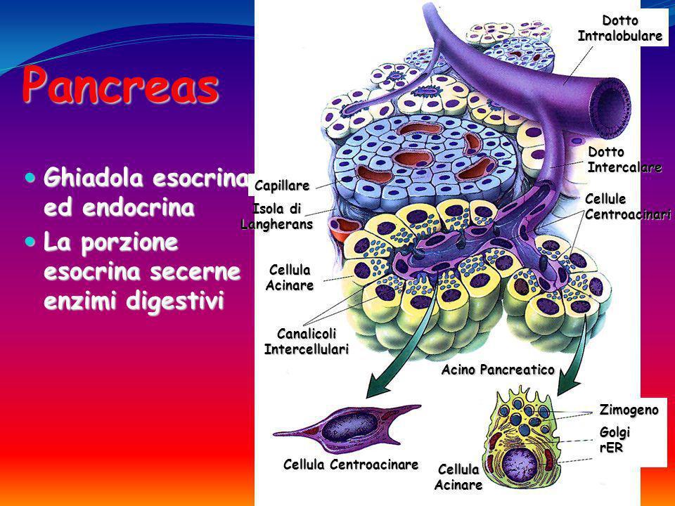 Pancreas Ghiadola esocrina ed endocrina Ghiadola esocrina ed endocrina La porzione esocrina secerne enzimi digestivi La porzione esocrina secerne enzi