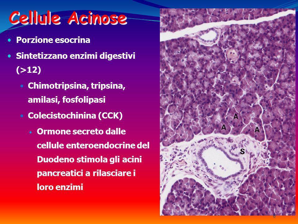 Cellule Acinose Porzione esocrina Sintetizzano enzimi digestivi (>12) Chimotripsina, tripsina, amilasi, fosfolipasi Colecistochinina (CCK) Ormone secr