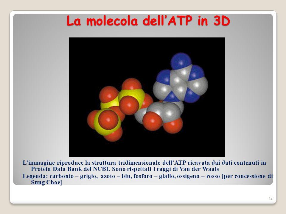 12 La molecola dellATP in 3D La molecola dellATP in 3D Limmagine riproduce la struttura tridimensionale dellATP ricavata dai dati contenuti in Protein