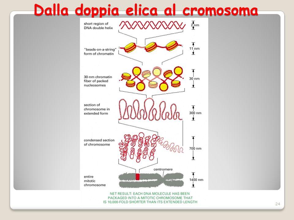 Dalla doppia elica al cromosoma 24
