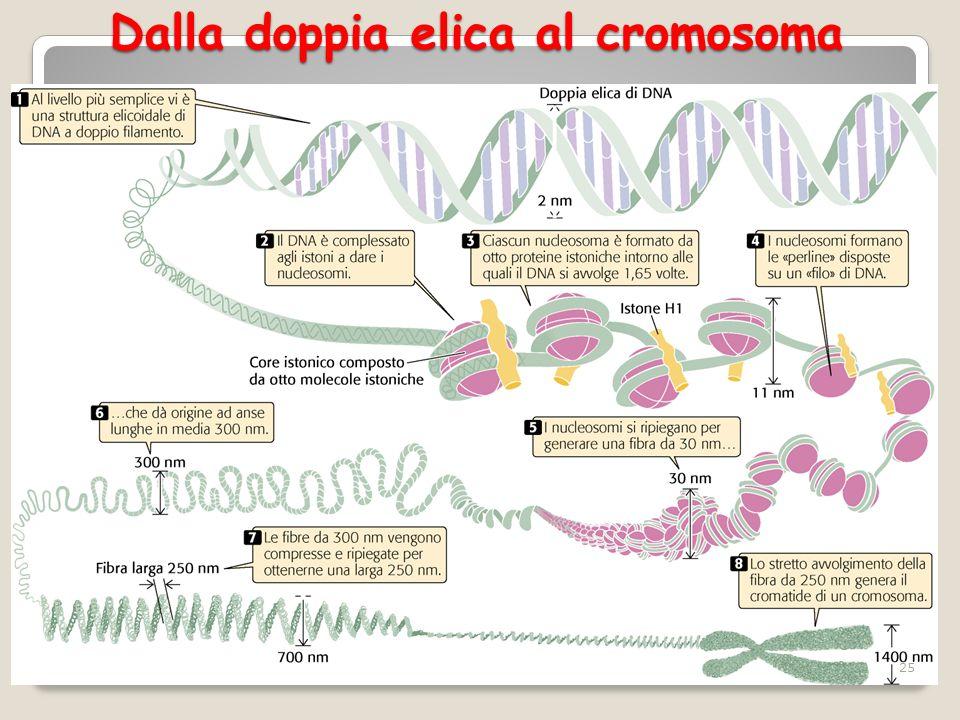 Dalla doppia elica al cromosoma 25