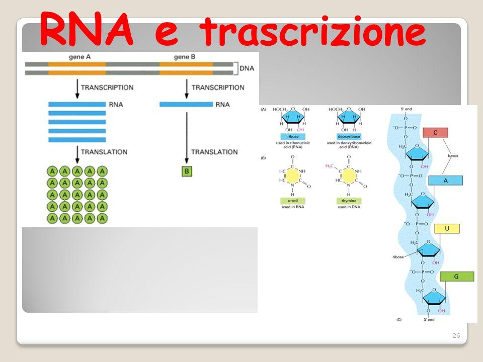 RNA e trascrizione 26