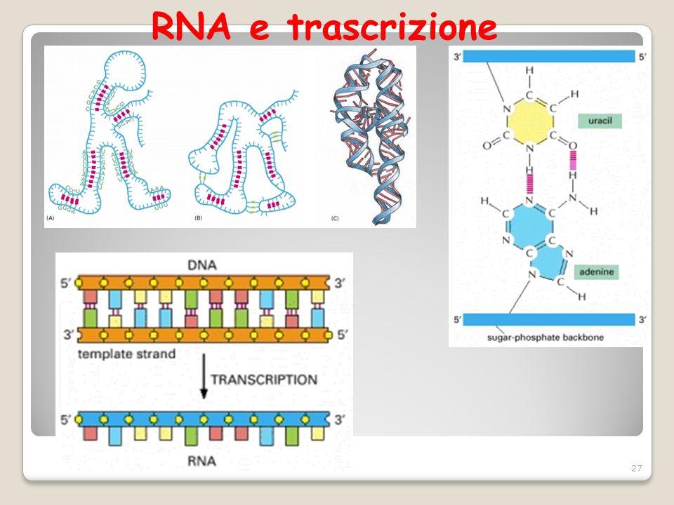 RNA e trascrizione 27
