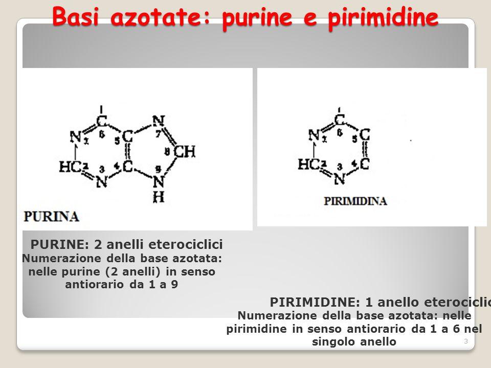 Basi azotate: purine e pirimidine 3 Numerazione della base azotata: nelle purine (2 anelli) in senso antiorario da 1 a 9 Numerazione della base azotat