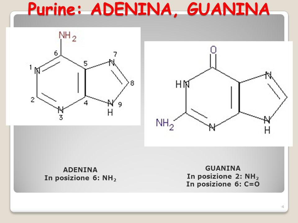 Pirimidine: CITOSINA, TIMINA, URACILE 5 CITOSINA In posizione 6: NH 2 In posizione 4: C=O TIMINA In posizione 1: CH 3 In posizione 4 e 6: C=O URACILE In posizione 4 e 6: C=O