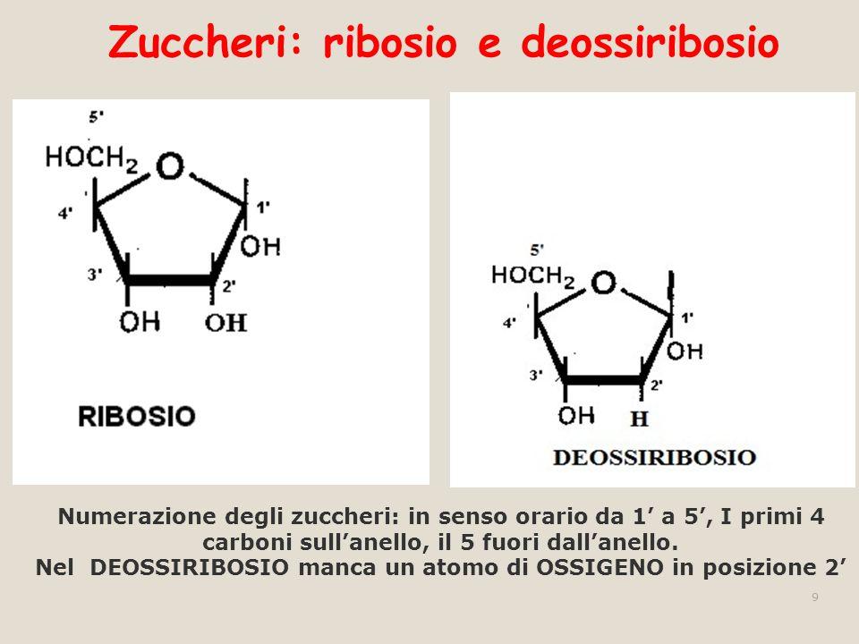 Zuccheri: ribosio e deossiribosio 9 Numerazione degli zuccheri: in senso orario da 1 a 5, I primi 4 carboni sullanello, il 5 fuori dallanello. Nel DEO