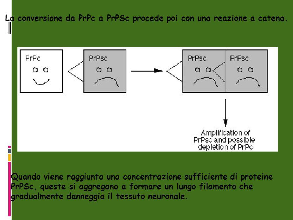 Quando viene raggiunta una concentrazione sufficiente di proteine PrPSc, queste si aggregano a formare un lungo filamento che gradualmente danneggia il tessuto neuronale.