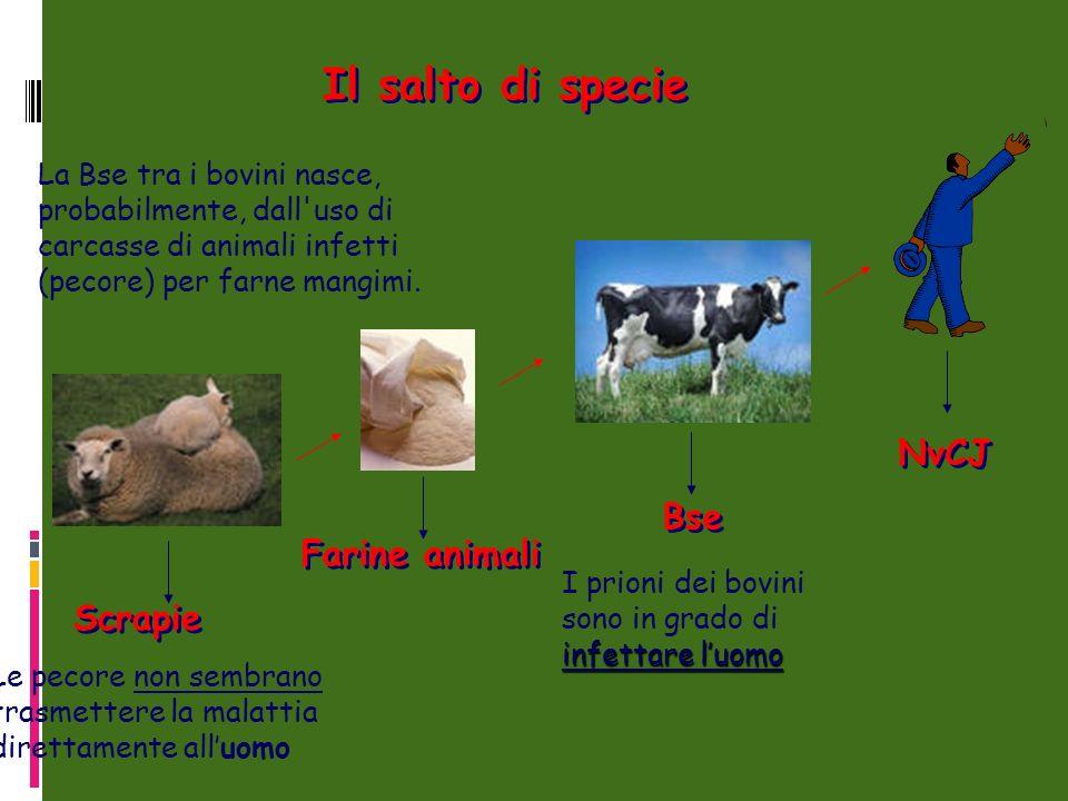 Il salto di specie La Bse tra i bovini nasce, probabilmente, dall uso di carcasse di animali infetti (pecore) per farne mangimi.
