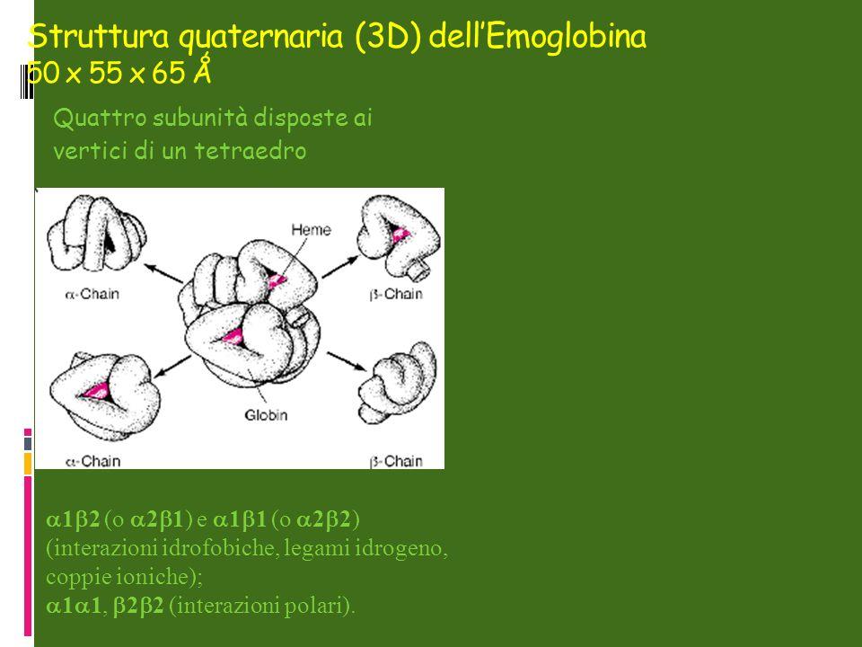 Struttura quaternaria (3D) dellEmoglobina 50 x 55 x 65 Ǻ Quattro subunità disposte ai vertici di un tetraedro 1 2 (o 2 1) e 1 1 (o 2 2) (interazioni idrofobiche, legami idrogeno, coppie ioniche); 1 1, 2 2 (interazioni polari).