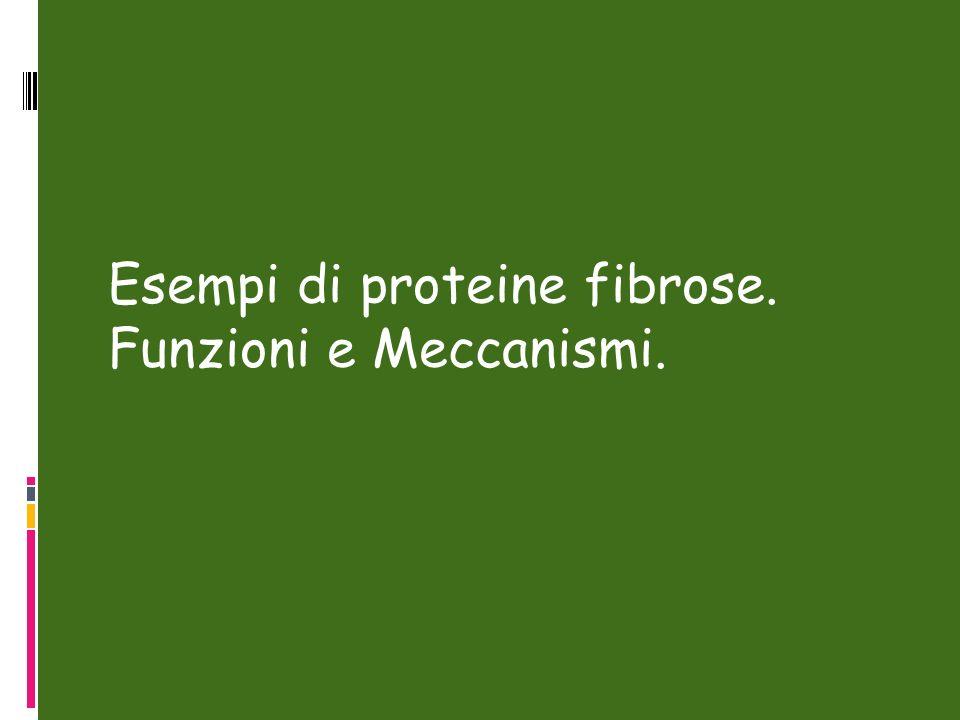 Esempi di proteine fibrose. Funzioni e Meccanismi.