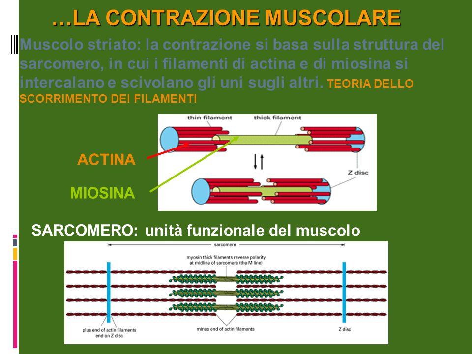 …LA CONTRAZIONE MUSCOLARE SARCOMERO: unità funzionale del muscolo Muscolo striato: la contrazione si basa sulla struttura del sarcomero, in cui i filamenti di actina e di miosina si intercalano e scivolano gli uni sugli altri.