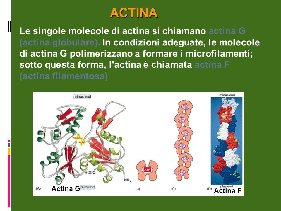 Le singole molecole di actina si chiamano actina G (actina globulare).