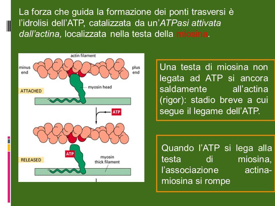 La forza che guida la formazione dei ponti trasversi è lidrolisi dellATP, catalizzata da unATPasi attivata dallactina, localizzata nella testa della miosina.