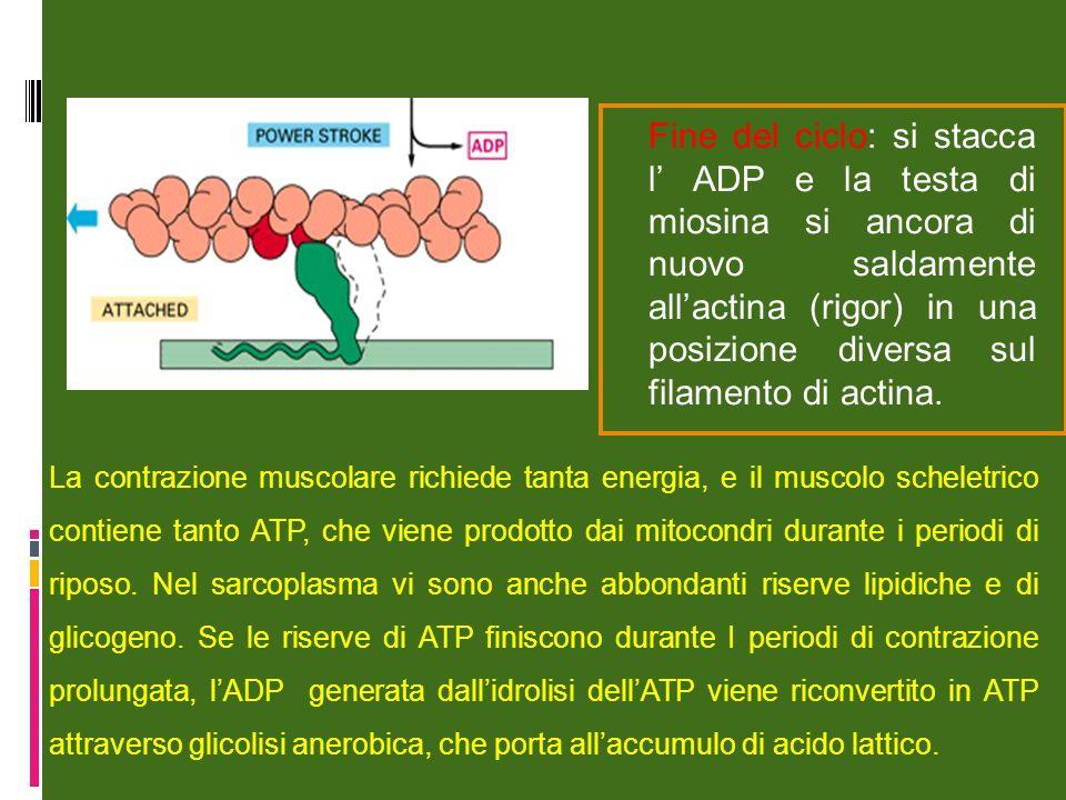 Fine del ciclo: si stacca l ADP e la testa di miosina si ancora di nuovo saldamente allactina (rigor) in una posizione diversa sul filamento di actina.