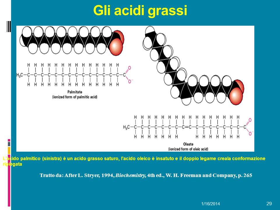 1/16/2014 29 Gli acidi grassi Tratto da: After L. Stryer, 1994, Biochemistry, 4th ed., W. H. Freeman and Company, p. 265 Lacido palmitico (sinistra) è