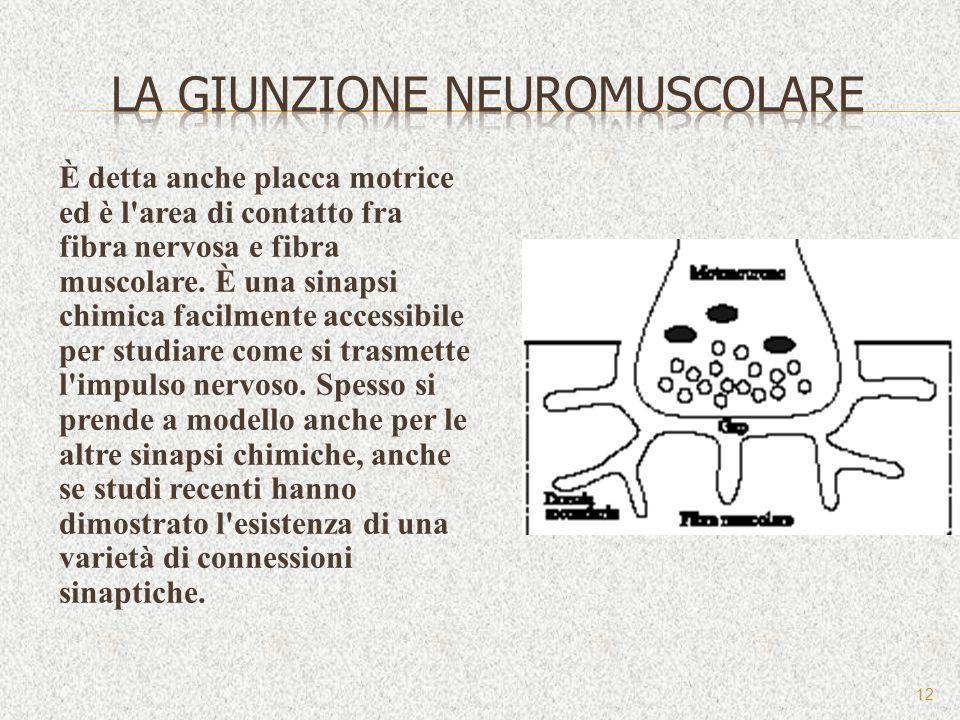 È detta anche placca motrice ed è l'area di contatto fra fibra nervosa e fibra muscolare. È una sinapsi chimica facilmente accessibile per studiare co