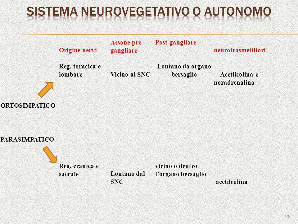 15 Origine nervi Assone pre- gangliare Post-gangliare neurotrasmettitori Reg. toracica e lombareVicino al SNC Lontano da organo bersaglio Acetilcolina
