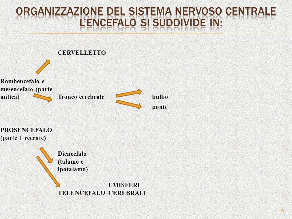 16 CERVELLETTO Rombencefalo e mesencefalo (parte antica)Tronco cerebralebulbo ponte PROSENCEFALO (parte + recente) Diencefalo (talamo e ipotalamo) TEL