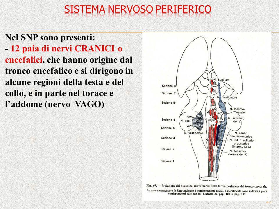 25 Nel SNP sono presenti: - 12 paia di nervi CRANICI o encefalici, che hanno origine dal tronco encefalico e si dirigono in alcune regioni della testa