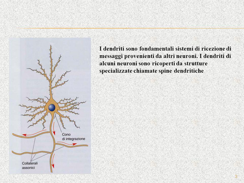 3 I dendriti sono fondamentali sistemi di ricezione di messaggi provenienti da altri neuroni. I dendriti di alcuni neuroni sono ricoperti da strutture