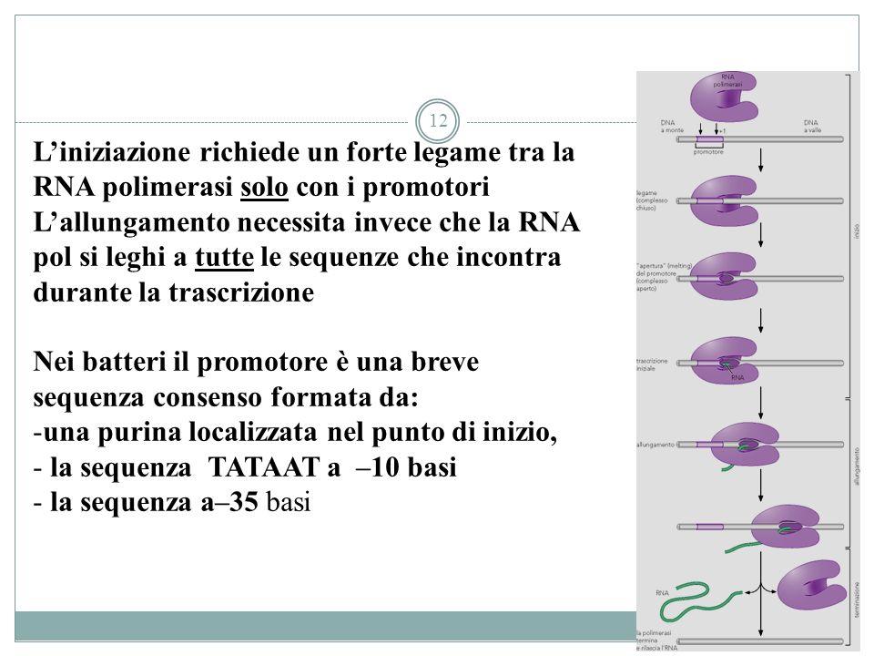 12 Liniziazione richiede un forte legame tra la RNA polimerasi solo con i promotori Lallungamento necessita invece che la RNA pol si leghi a tutte le