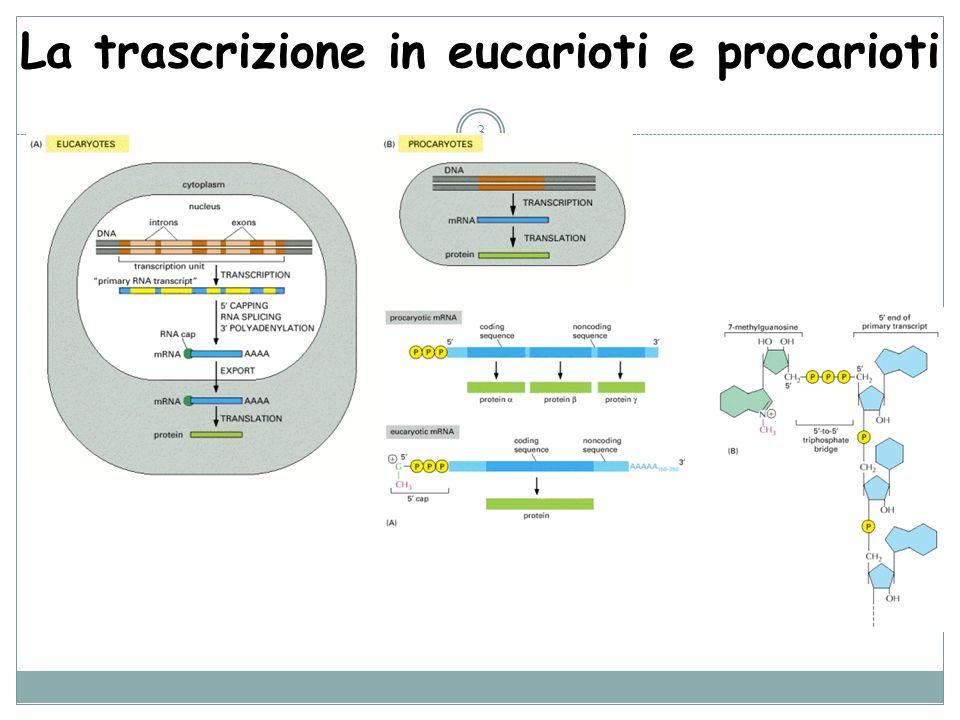 La trascrizione in eucarioti e procarioti 3
