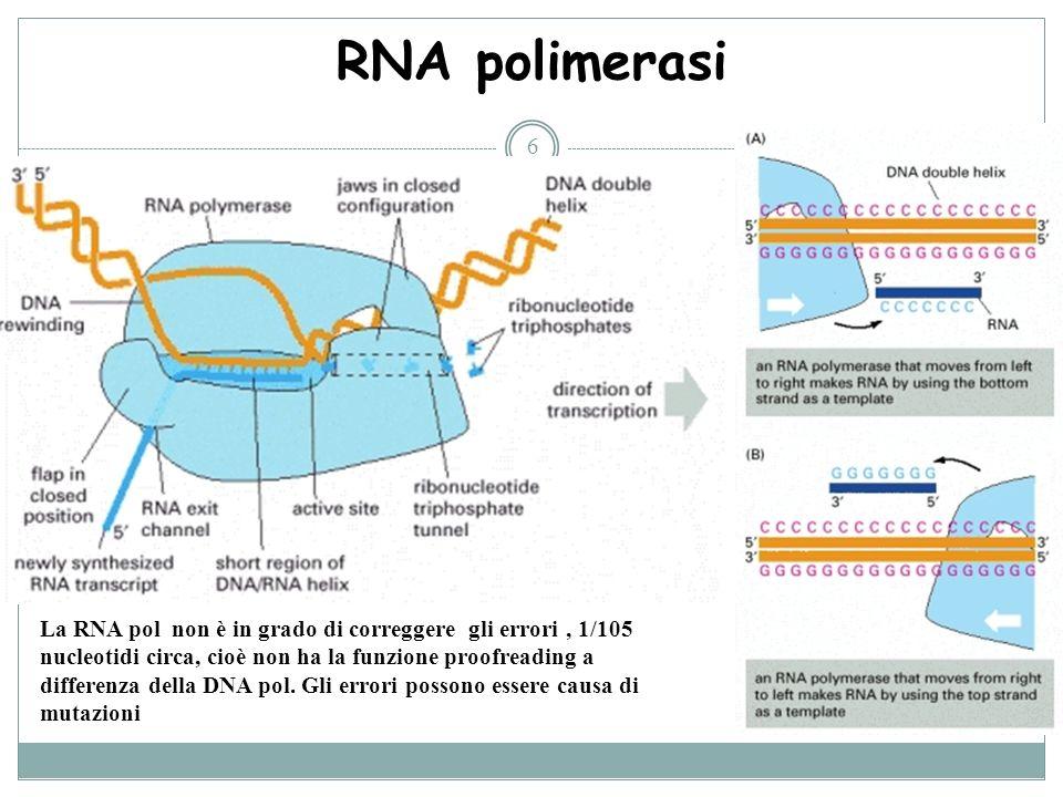 6 RNA polimerasi La RNA pol non è in grado di correggere gli errori, 1/105 nucleotidi circa, cioè non ha la funzione proofreading a differenza della D