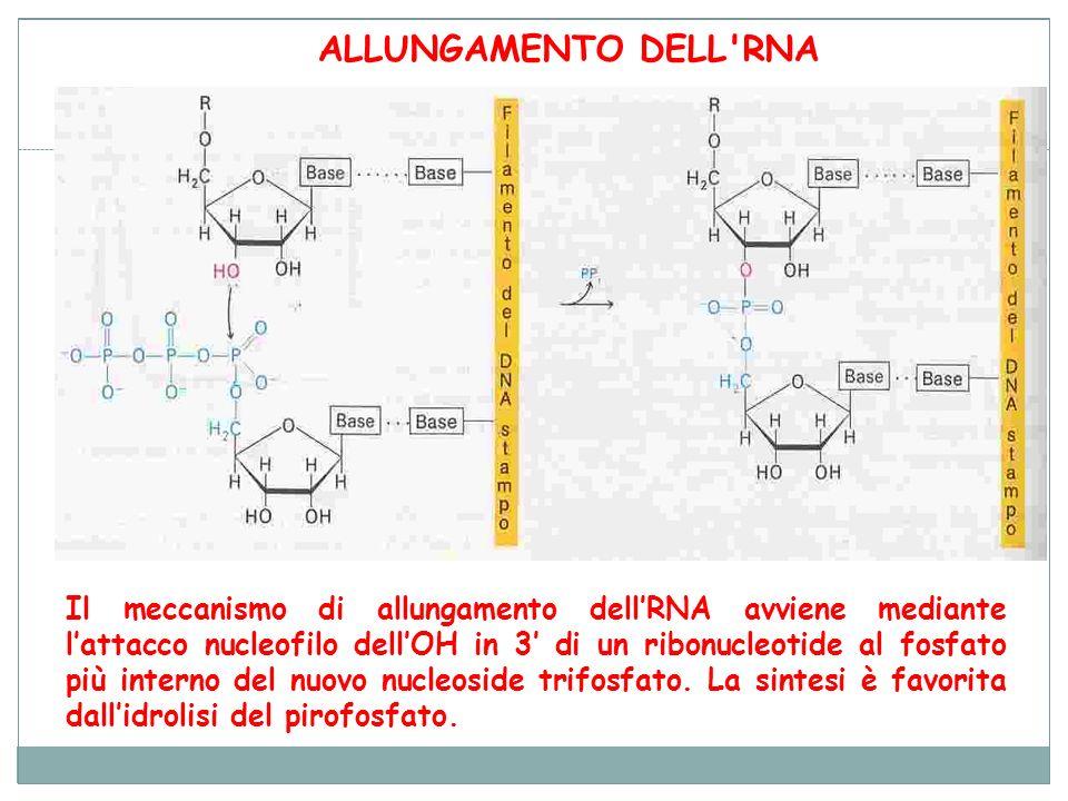 Il meccanismo di allungamento dellRNA avviene mediante lattacco nucleofilo dellOH in 3 di un ribonucleotide al fosfato più interno del nuovo nucleosid