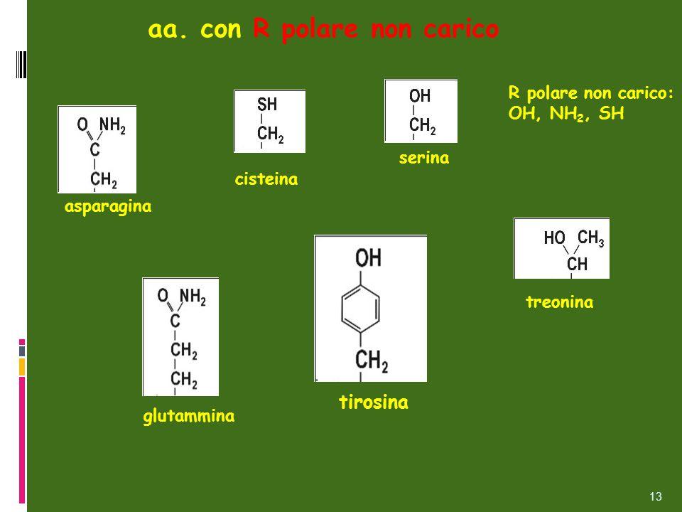 aa. con R polare non carico serina treonina asparagina glutammina tirosina cisteina R polare non carico: OH, NH 2, SH 13