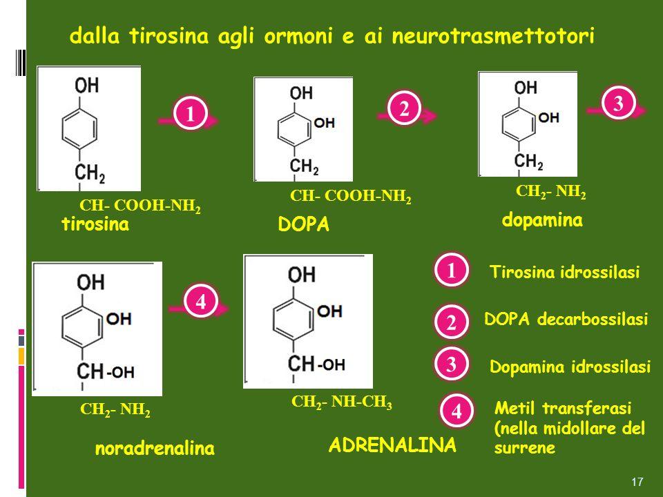 dalla tirosina agli ormoni e ai neurotrasmettotori 17 DOPA CH- COOH-NH 2 tirosina CH- COOH-NH 2 dopamina CH 2 - NH 2 noradrenalina CH 2 - NH 2 ADRENAL
