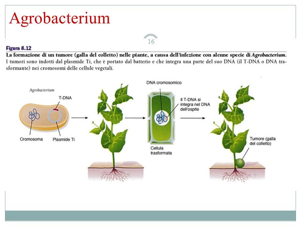Agrobacterium 16