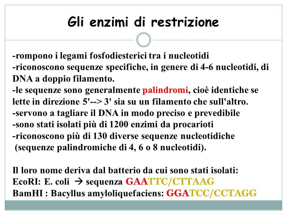 Gli enzimi di restrizione -rompono i legami fosfodiesterici tra i nucleotidi -riconoscono sequenze specifiche, in genere di 4-6 nucleotidi, di DNA a d