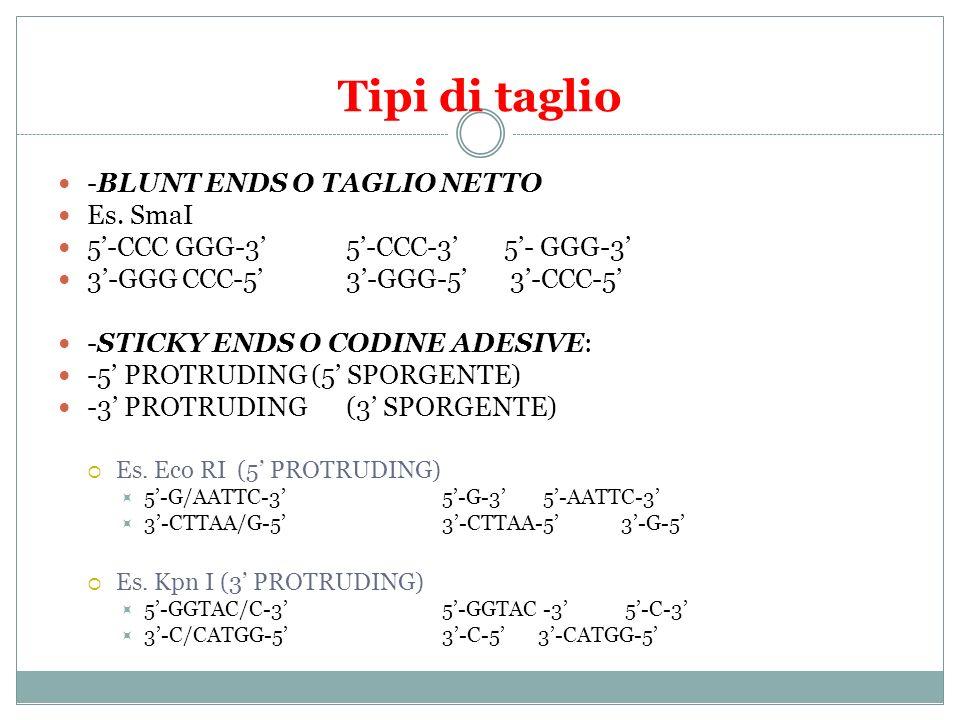 Tipi di taglio -BLUNT ENDS O TAGLIO NETTO Es. SmaI 5-CCC GGG-3 5-CCC-3 5- GGG-3 3-GGG CCC-5 3-GGG-5 3-CCC-5 -STICKY ENDS O CODINE ADESIVE: -5 PROTRUDI
