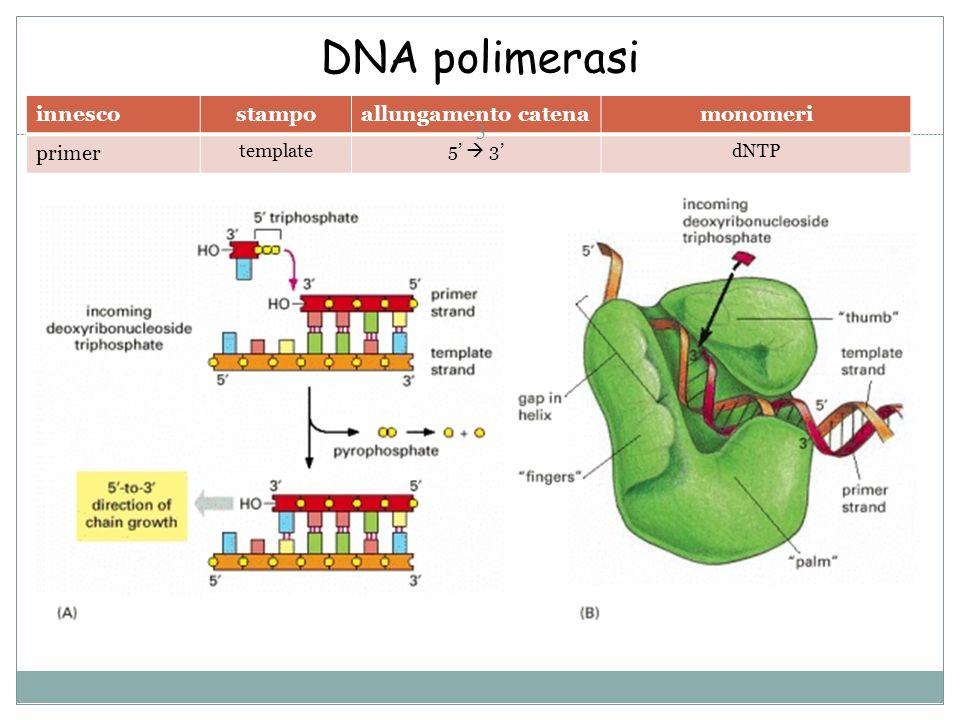 DNA polimerasi innescostampoallungamento catenamonomeri primer template5 3dNTP 3
