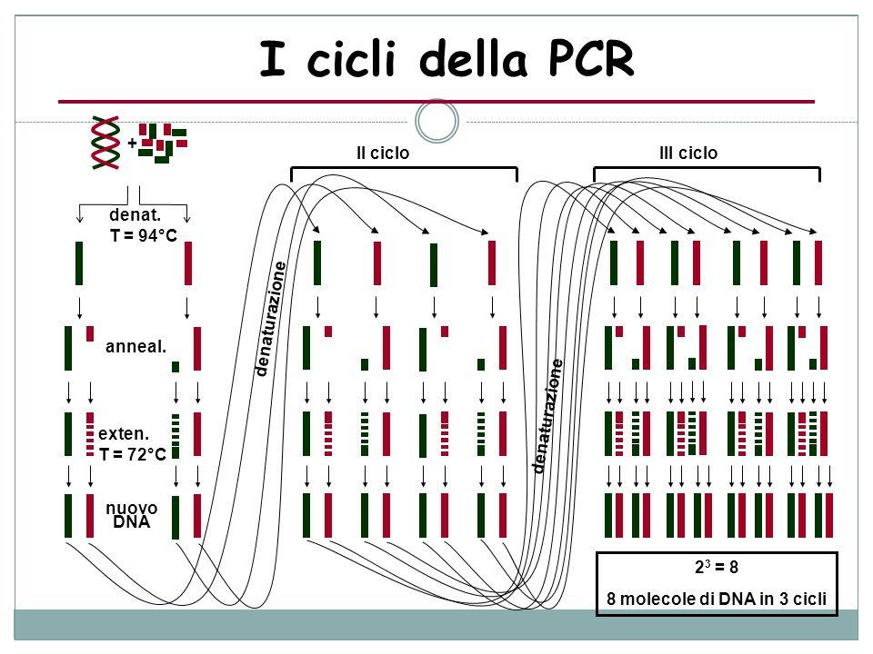 denat. T = 94°C anneal. exten. T = 72°C nuovo DNA II cicloIII ciclo denaturazione + 2 3 = 8 8 molecole di DNA in 3 cicli I cicli della PCR