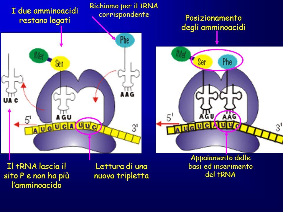 Il tRNA lascia il sito P e non ha più lamminoacido I due amminoacidi restano legati Lettura di una nuova tripletta Richiamo per il tRNA corrispondente