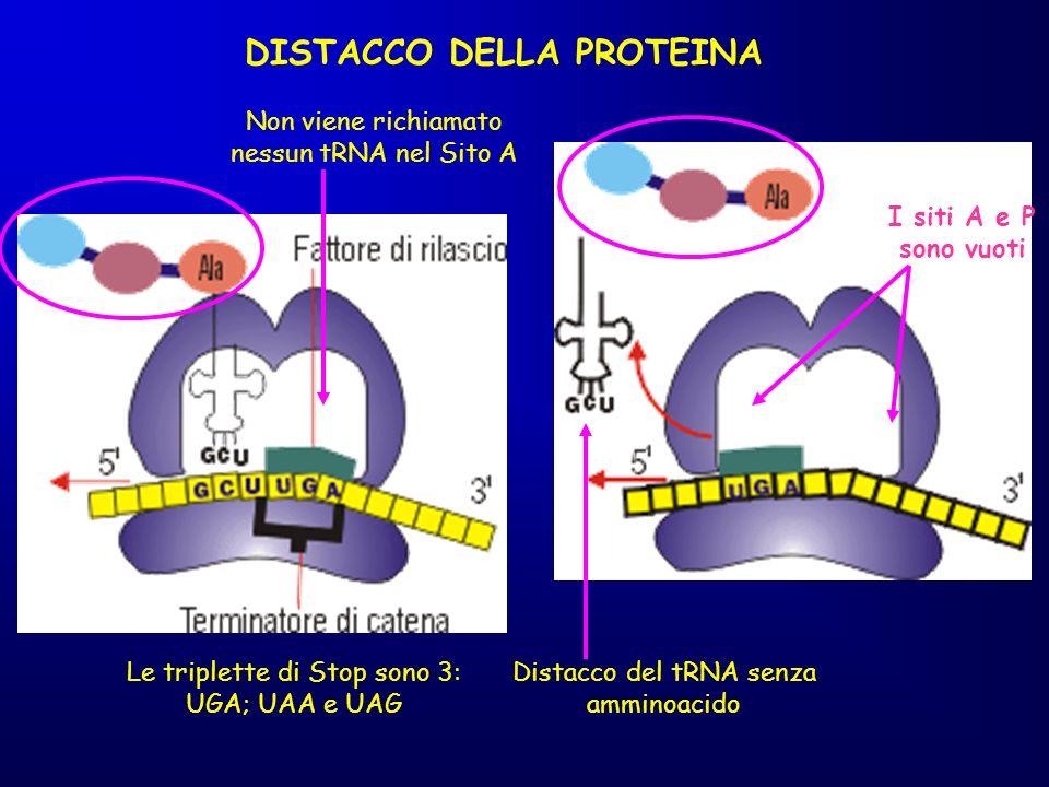 Le triplette di Stop sono 3: UGA; UAA e UAG DISTACCO DELLA PROTEINA Non viene richiamato nessun tRNA nel Sito A I siti A e P sono vuoti Distacco del t