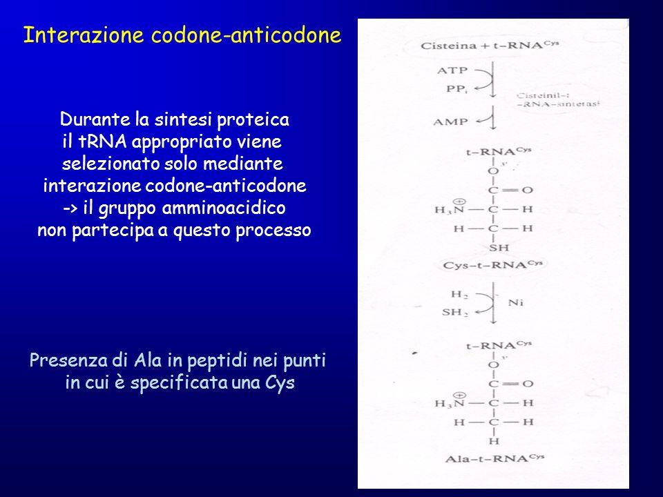Interazione codone-anticodone Durante la sintesi proteica il tRNA appropriato viene selezionato solo mediante interazione codone-anticodone -> il grup