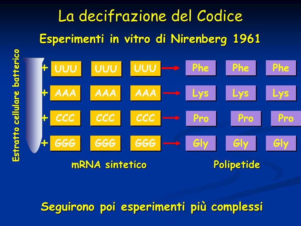 La decifrazione del Codice AAA CCC Lys mRNA sintetico Polipetide Esperimenti in vitro di Nirenberg 1961 GGG Estratto cellulare batterico + + + + Gly S
