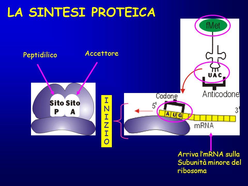 LA SINTESI PROTEICA Accettore Peptidilico INIZIOINIZIO Arriva lmRNA sulla Subunità minore del ribosoma