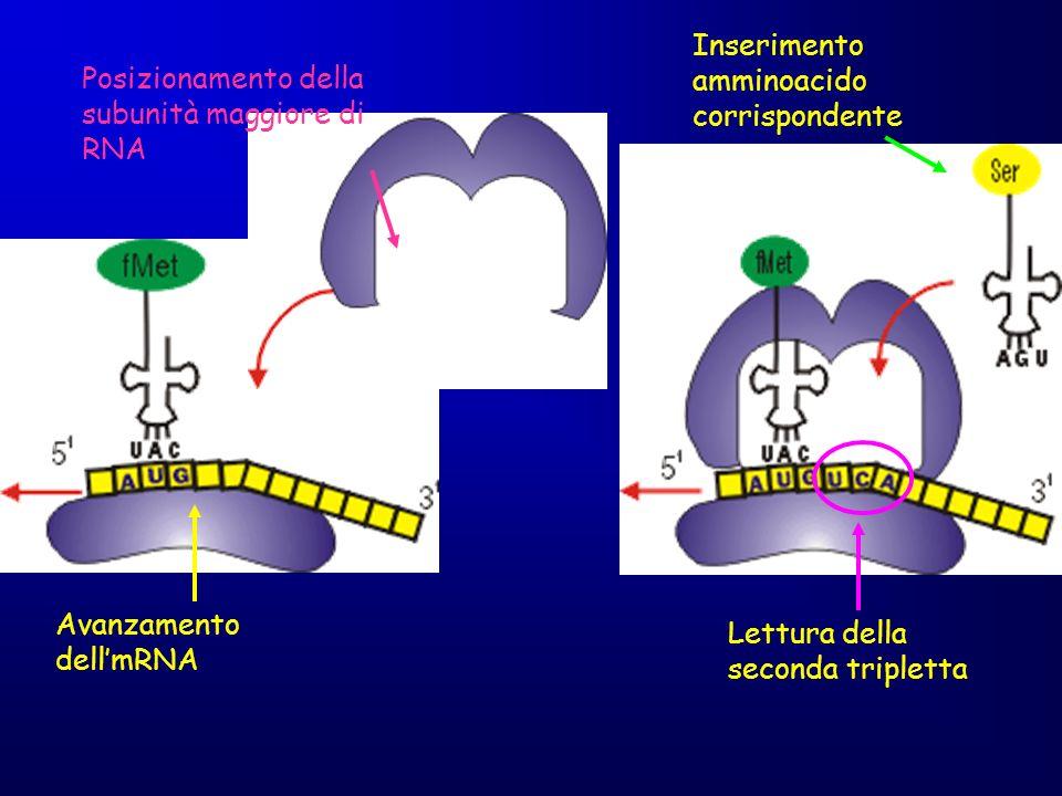 Avanzamento dellmRNA Posizionamento della subunità maggiore di RNA Inserimento amminoacido corrispondente Lettura della seconda tripletta