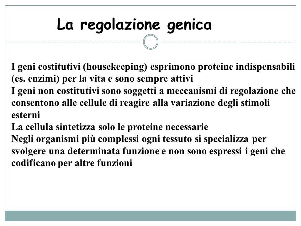 La regolazione genica I geni costitutivi (housekeeping) esprimono proteine indispensabili (es. enzimi) per la vita e sono sempre attivi I geni non cos
