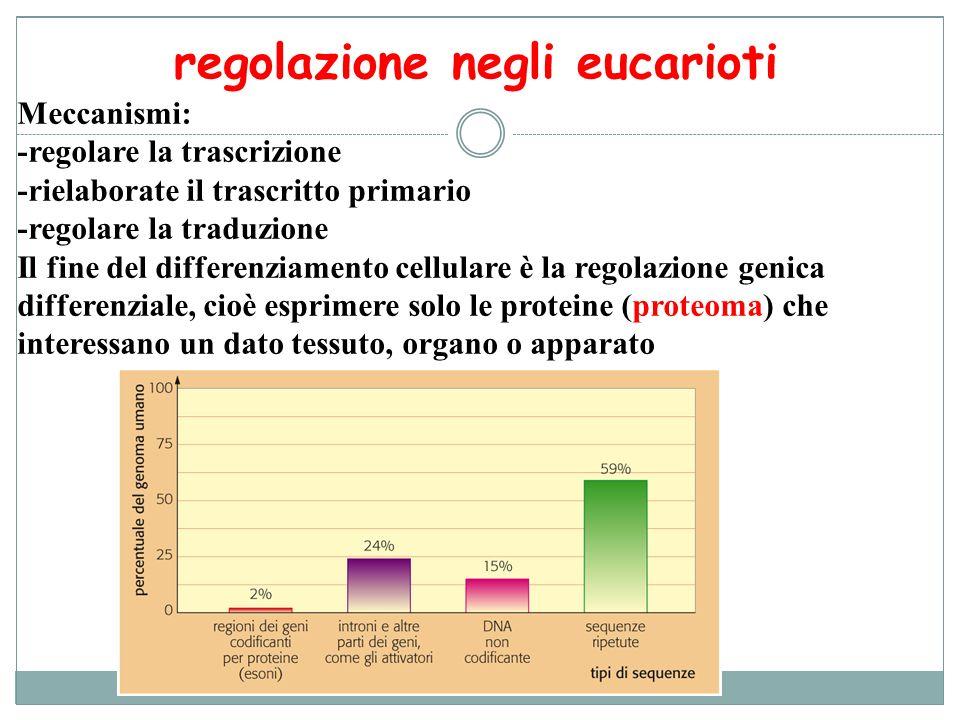 regolazione negli eucarioti Meccanismi: -regolare la trascrizione -rielaborate il trascritto primario -regolare la traduzione Il fine del differenziam