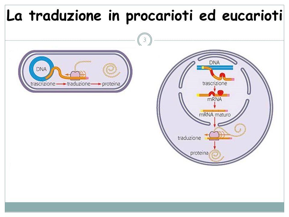 La traduzione in procarioti ed eucarioti 3