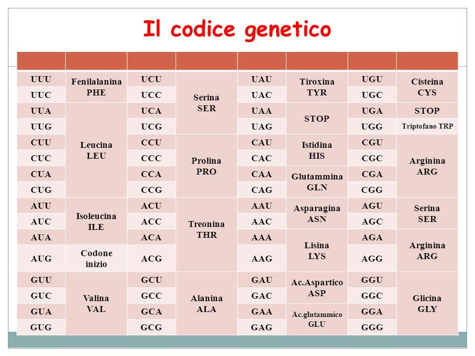 Il codice genetico UUU Fenilalanina PHE UCU Serina SER UAU Tiroxina TYR UGU Cisteina CYS UUCUCCUACUGC UUA Leucina LEU UCAUAA STOP UGASTOP UUGUCGUAGUGG