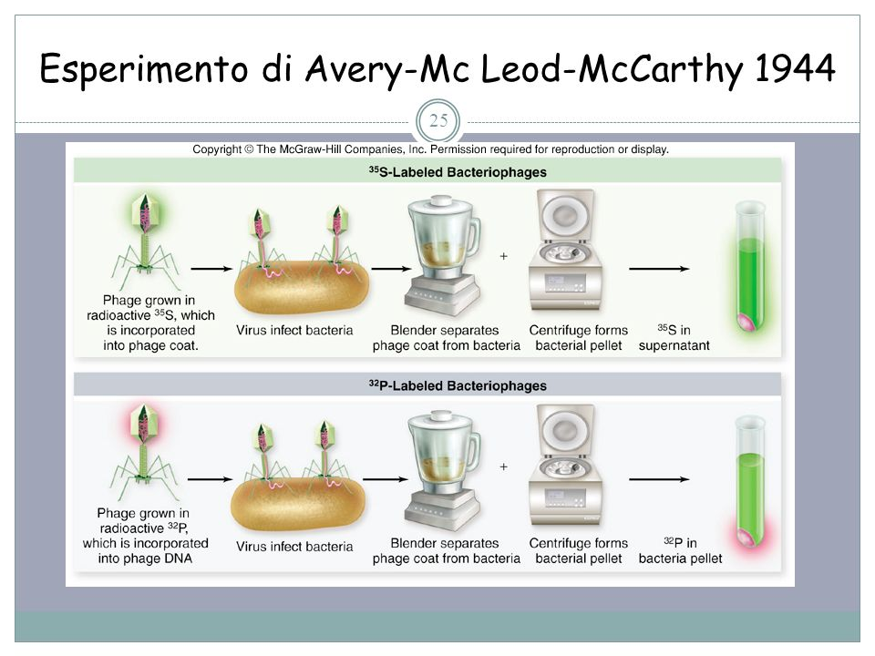 25 Esperimento di Avery-Mc Leod-McCarthy 1944