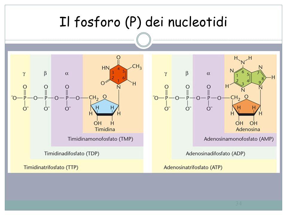 34 Il fosforo (P) dei nucleotidi